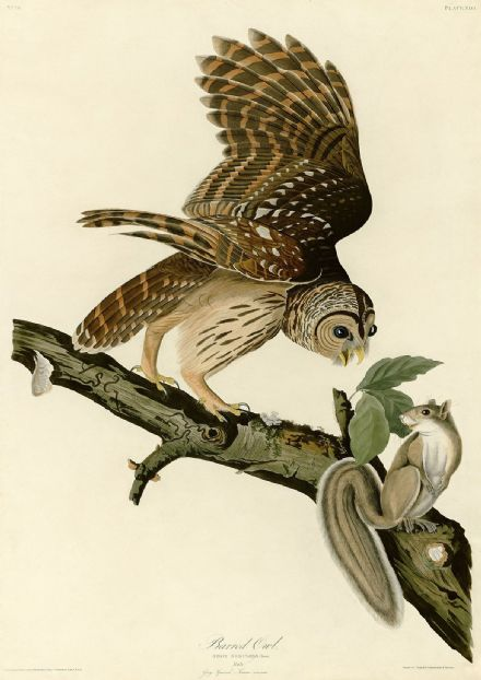Audubon, John James: Barred Owl and Grey Squirrel. Ornithology Fine Art Print.  (001010)